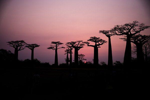 Baobabs Mada
